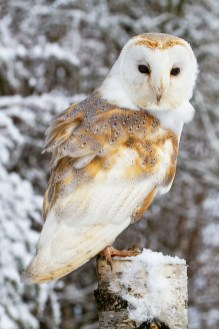 Barn Owl_5492