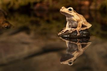 Borneo Eared Frog_7632 (1)