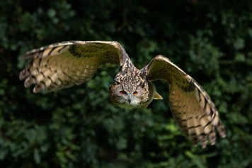 European Eagle Owl-8074