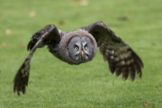 Great Grey Owl-1764