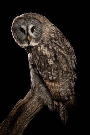 Great Grey Owl-7182