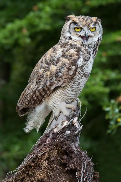 Great Horned Owl-4402