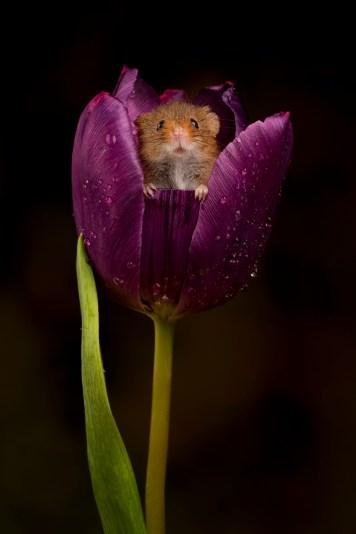 HM Tulip 01906