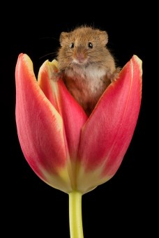 Harvest Mouse-1601
