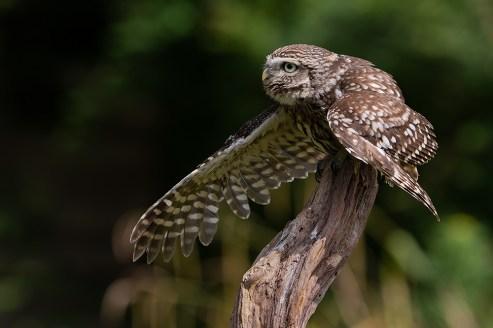Little owl-4245