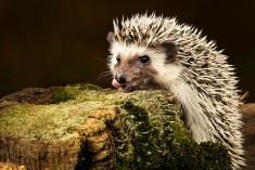 Pygmy Hedgehog_3438