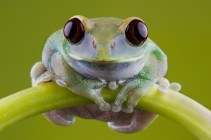 Ruby Eye Tree Frog-1518