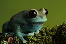 Ruby Eye Tree Frog-3128