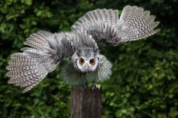 SWF Owl Display