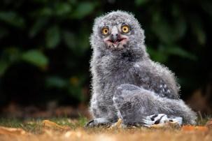Snowy Owlet-8251