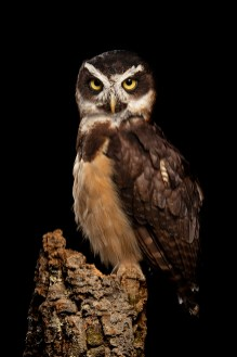 Spectacled Owl_1501