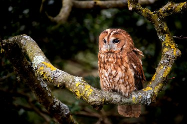 Tawny Owl-5549