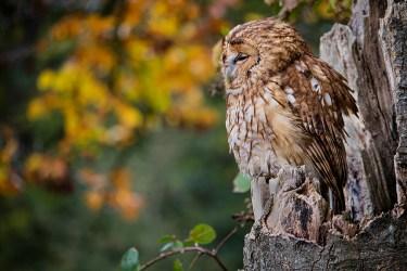 Tawny Owl_0181