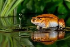 Tomato Frog-1311