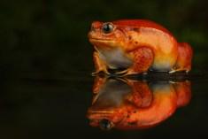 Tomato Frog_1011