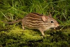 Zebra Mouse-5681