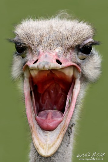 Laughing Ostrich-stretch_edited-1