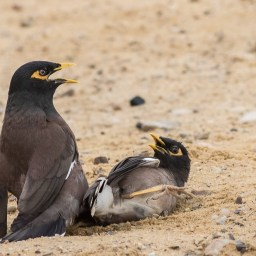 Common myna/treurmaina