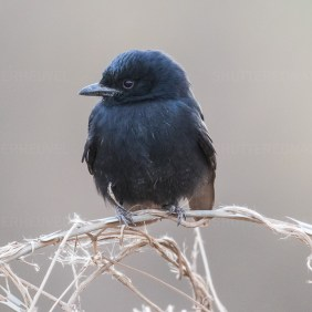 The most common bird I saw in Namibia, Botswana and South-Africa!