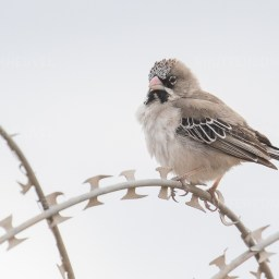 Scaly-feathered Weaver