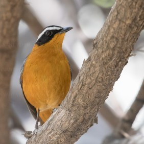 White-breasted Robin-Chat