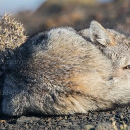 South-American Gray Fox / Patagonische vos