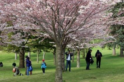 Cherry Blossom #04