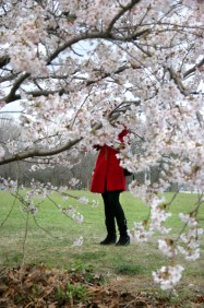 Cherry Blossom #13