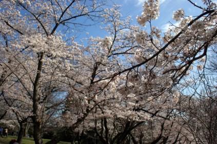 Cherry Blossom #16