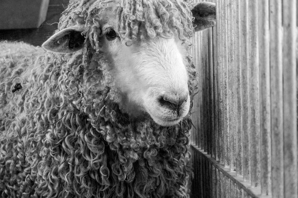Wooly