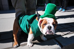Irish English Bulldog
