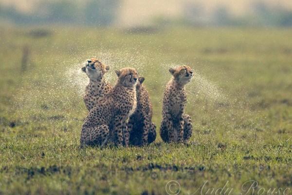 cheetahs (Acinonyx jubatus) drenched in rain