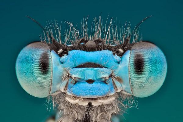 damsel fly head extreme closeup
