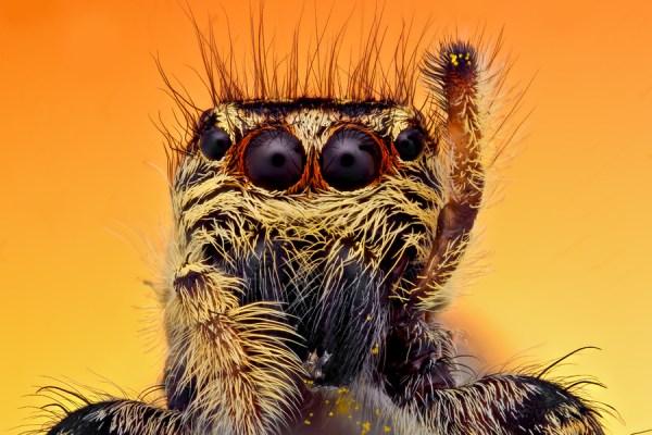 jumping spider raising leg