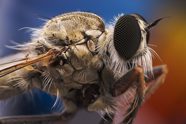 High magnification macro photograph of a robberfly