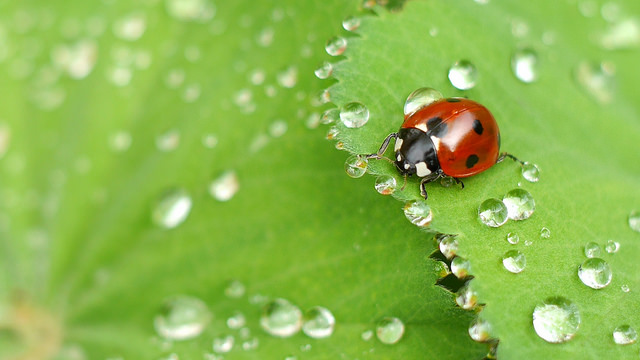 Insect macro photography tips and photograph of a ladybug