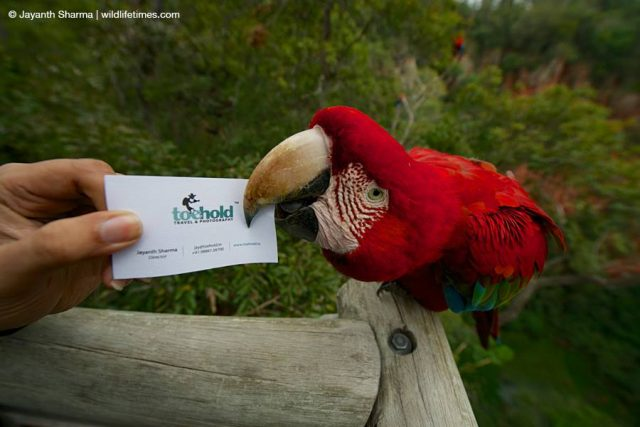 parrot biting toehold card