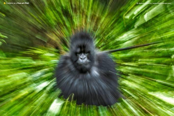 Zoom burst photograph of a gorilla