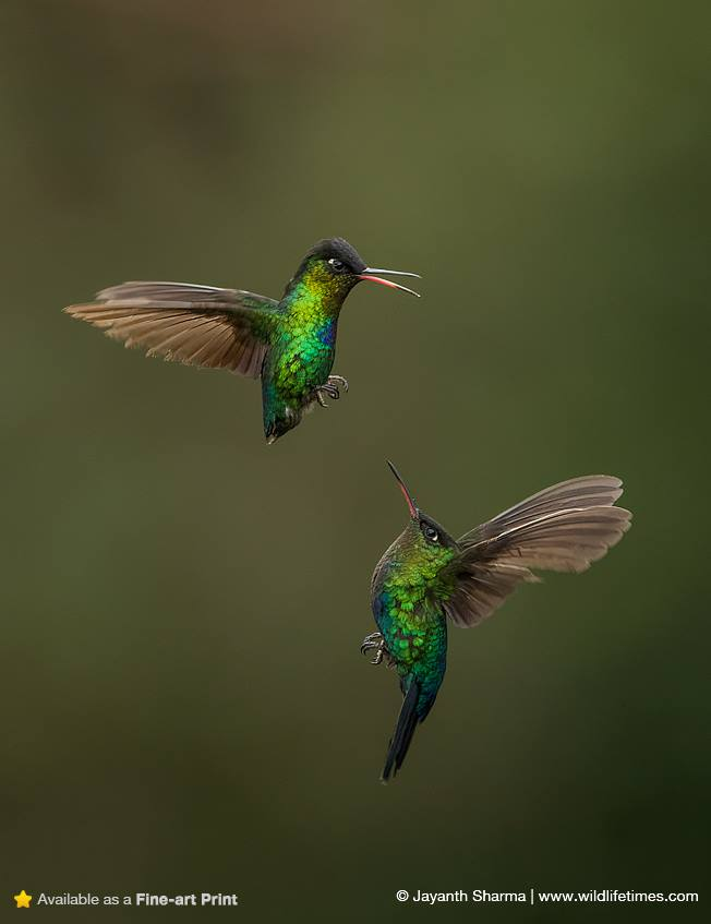 two humming birds in flight