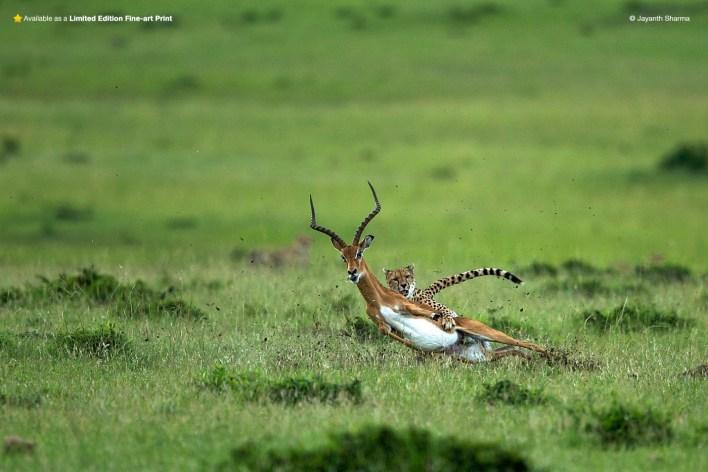 cheetha chasing a gazelle