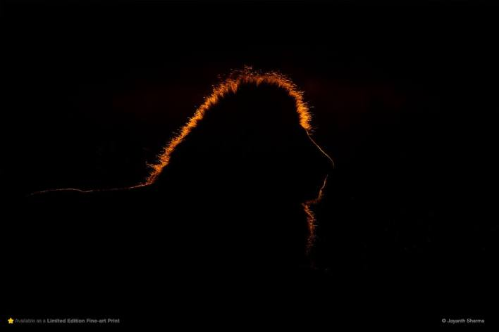silhouette of a lion