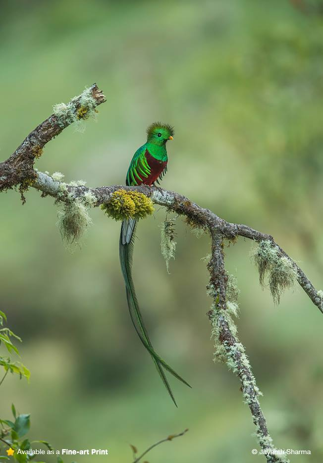 Quetzals The national bird of Guatemala
