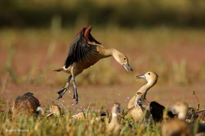 Ducks Bharatpur