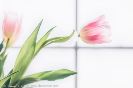 Backlit Tulips 2