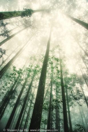 Trees Rising into Fog