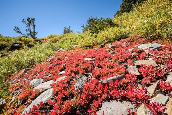 Small vegetation in autumn colors, 20 Lakes Basin, Hoover Wilderness, California, September 2016.