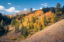 Autumnal Aspens at Sonora Pass, Bridgeport, California, September 2016.
