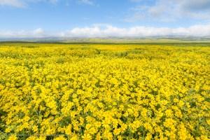 Field of Daisies along Soda Lake Road, Carrizo Plain National Monument, California. March 2017.
