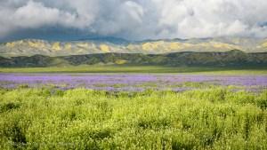 Phacelia Field and Temblor Range, Carrizo Plain National Monument, California. March 2017.