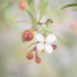 Bushrue Berries & Flower
